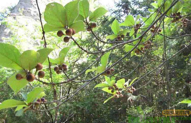 野果树矢量图