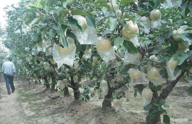 广东:低矮化苗木更受欢迎