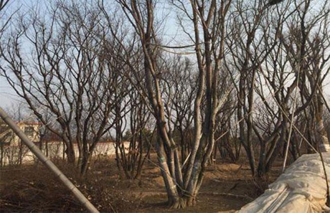丛生苗木发展要点是什么?