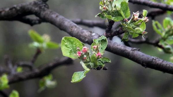 春季蘋果樹修剪方法