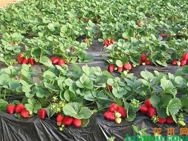 红颜草莓亩产量一般多少斤