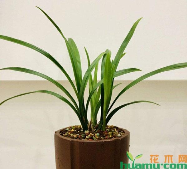 兰花一旦休眠,叶片就不会有任何生长的迹象,新叶不会萌发,而且根系的图片