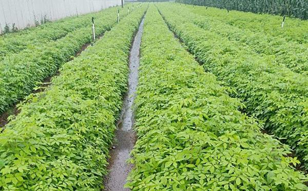 刺五加苗木批发价格多少钱一棵?刺五加种植方法介绍