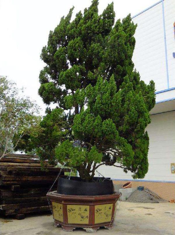 造型树需求量上涨,当前这6个品种正走量,苗木人可重点发展!