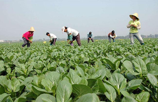 怎么种植无农药蔬菜?无公害蔬菜栽培技术