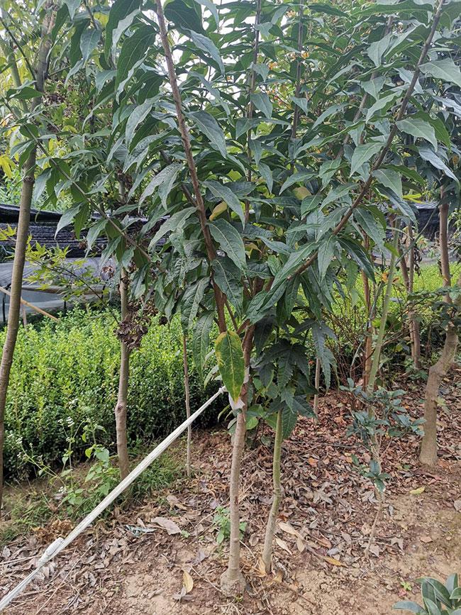 腊梅树多少钱一棵?2020年最新腊梅苗价格