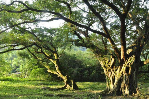2020年榕树价格最新行情预测图片