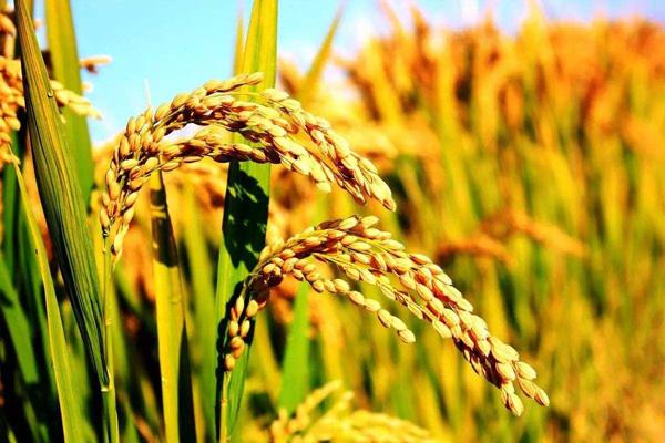 德州牛仔 三月份水稻价格会上涨吗?