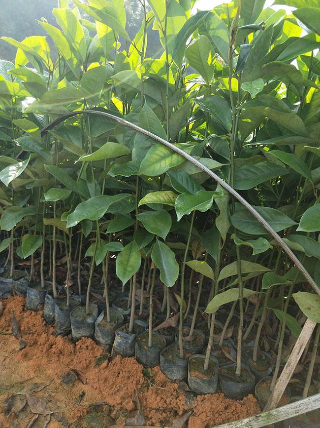 含笑树多少钱一棵?2020年含笑树苗价格行情