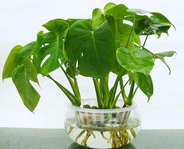 这几盆水培植物适合夏天养