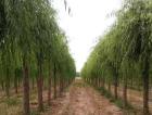 2021年的正確打開方法,這傢苗圃值得你學習——访徐州意通苗木场