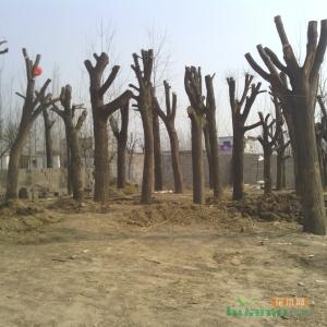 新栽截干树木要选对定型时机