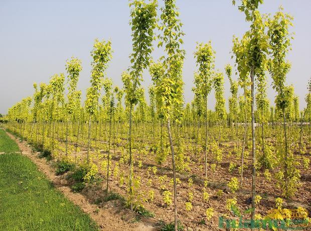丰茂苗木基地里的金叶复叶槭