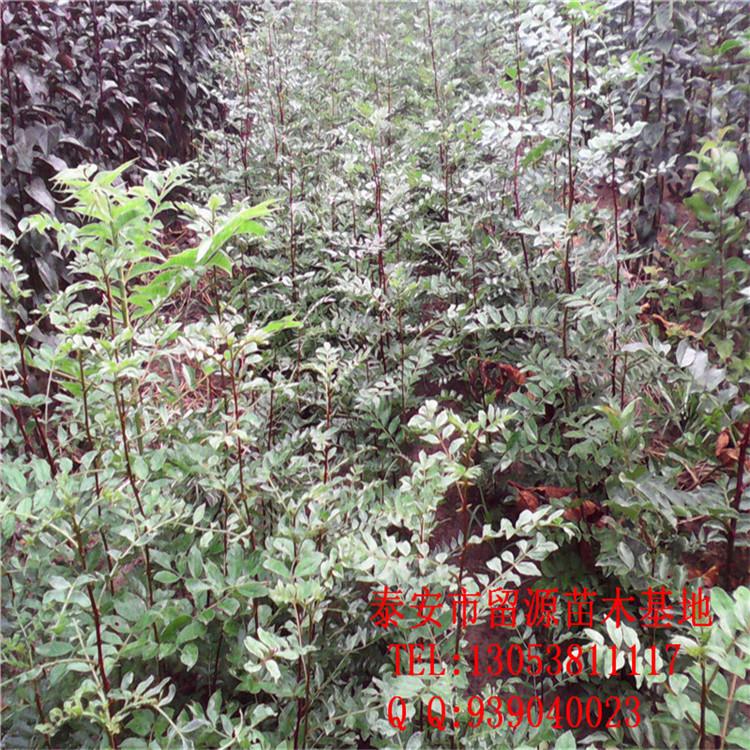 花木首页 全部分类 绿化苗木 落叶灌木 花椒 > 大红袍花椒苗   幼龄树