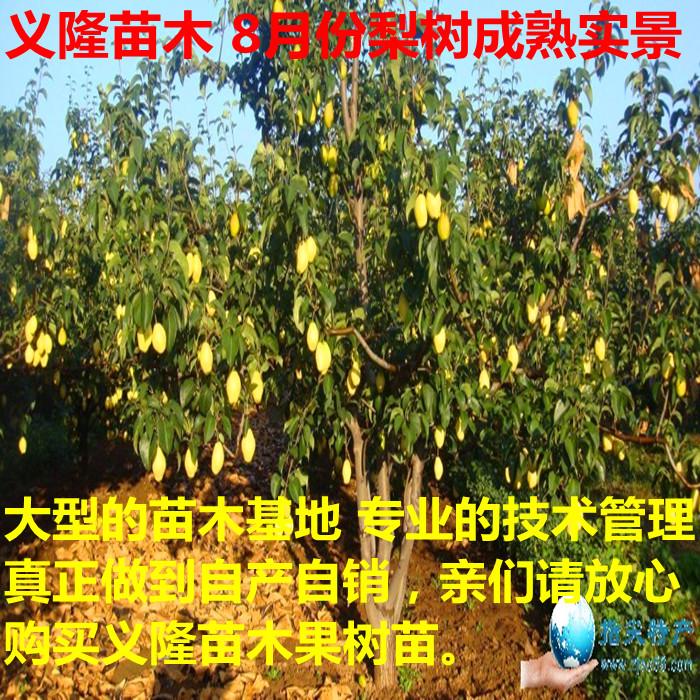 梨树苗,梨树苗价格,梨树苗多少钱一棵出售500万一年-2年嫁接梨树苗