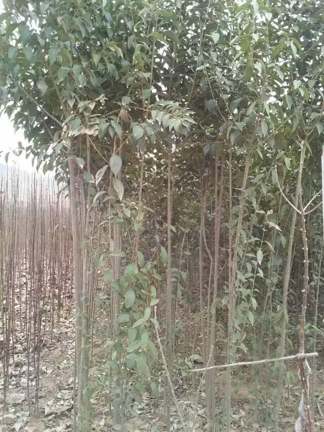 壁纸 风景 树 植物 桌面 640_854 竖版 竖屏 手机