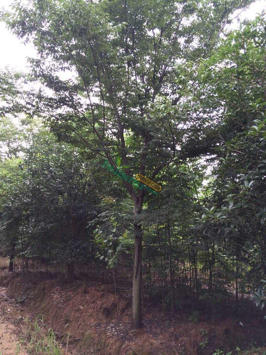 供应优质精品红榉树15-20公分.精品苗圃苗