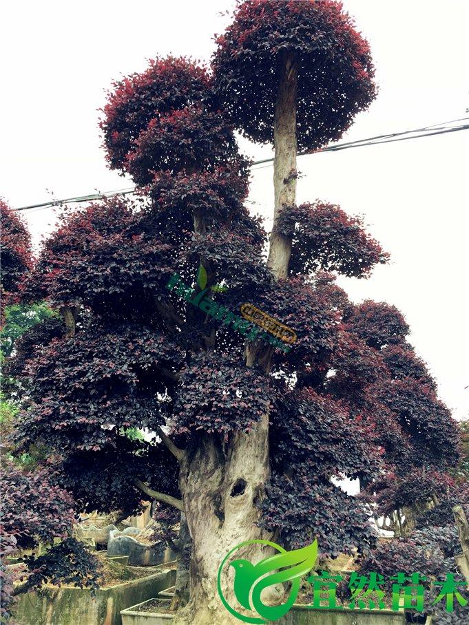 红花继木红继木盆景树桩 基地直销