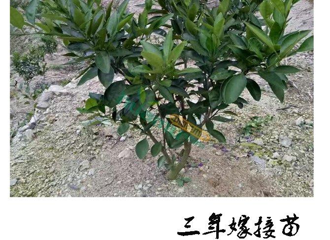 搜索手工制作桔子树怎么做