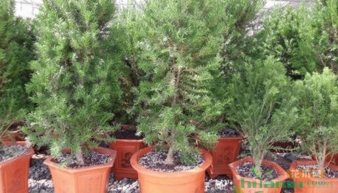 曼地亚红豆杉栽培养殖方法