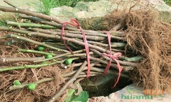 经济林苗木质量参差不齐,该怎么把关?