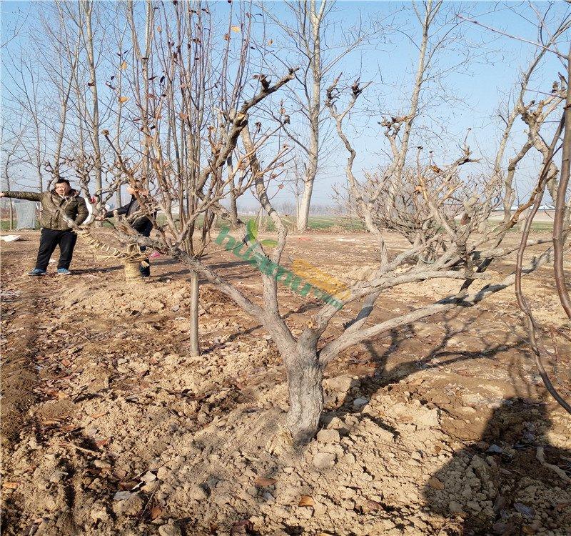 铅笔画牡丹花树-高度100厘米牡丹价格 图片 行情 报价 中国花木网