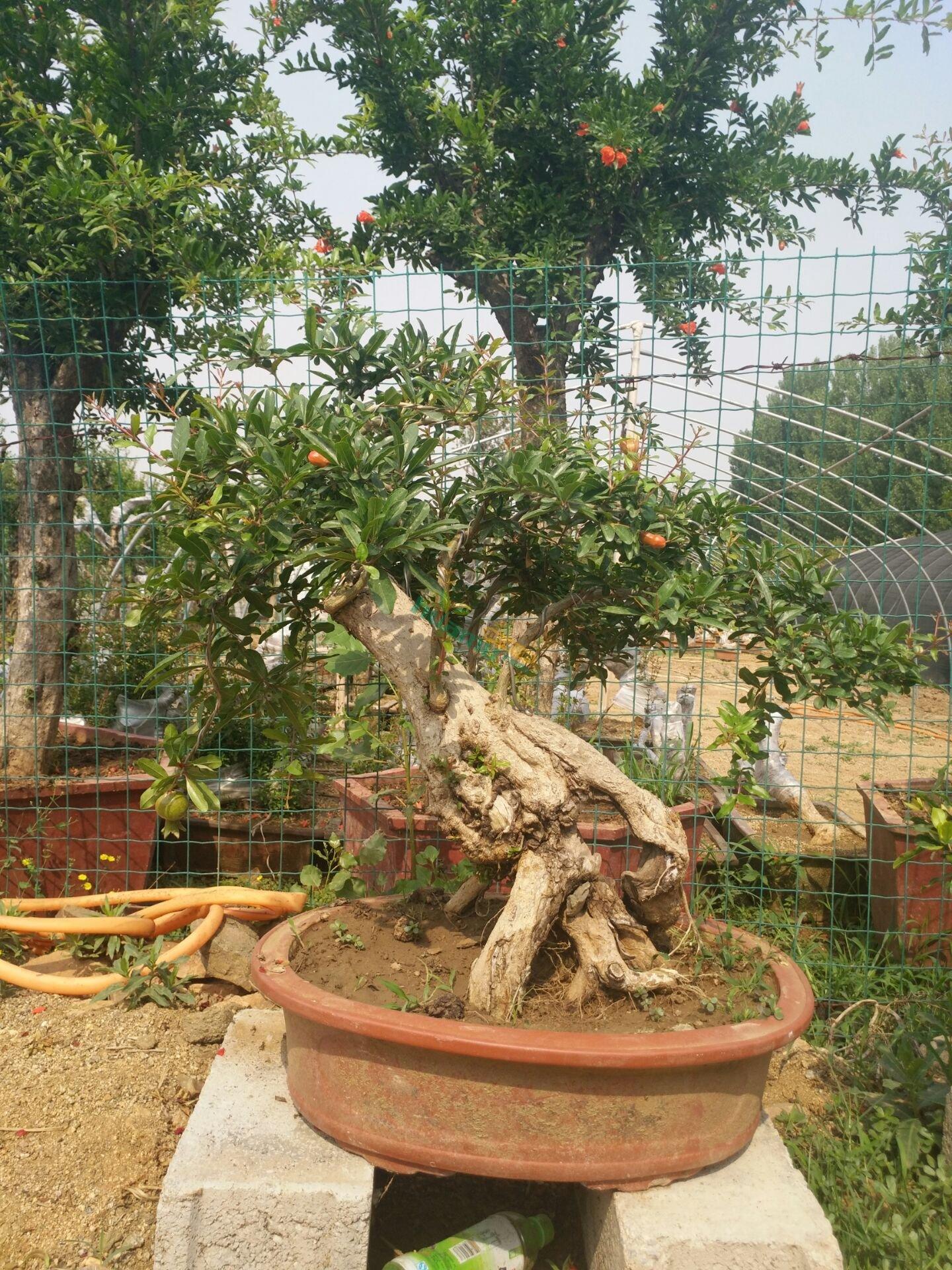 百年石榴树盆景树桩