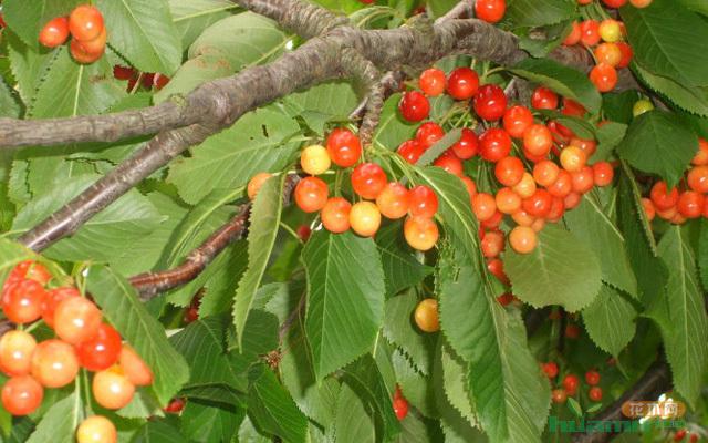 樱桃树的形态特征图片