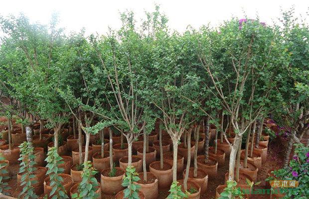 澄江县,红塔区距离昆明较近,加上许多苗木基地是当地或昆明等地的园林