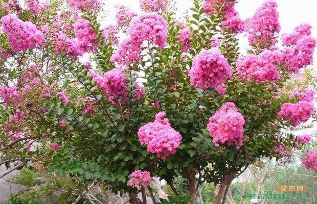 盆栽紫薇要求株型矮化,整形修剪是促进多开花,多次开花的关键.