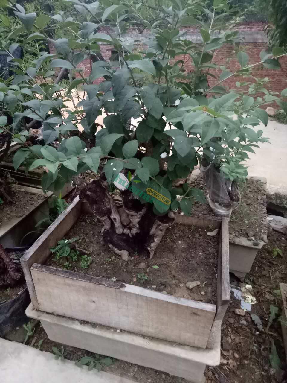 流苏手绘园林植物
