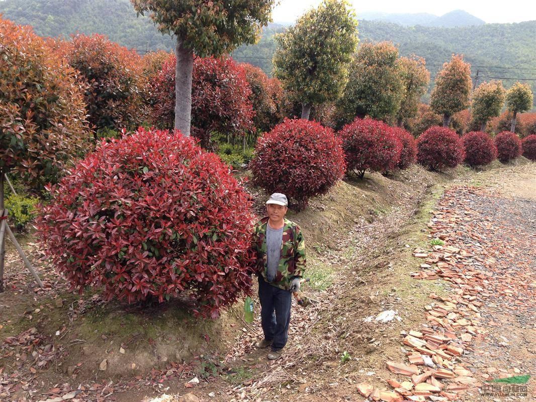 米高度30厘米红叶石楠价格 图片 行情 报价 中国花木网