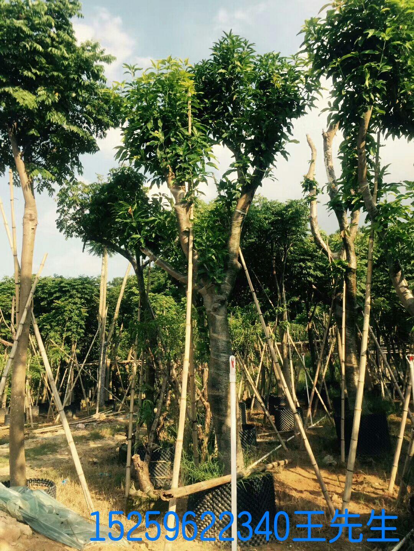 芒果树苗 > 芒果树价格   商品详情 商品评论 销售记录 中绿国景,漳州