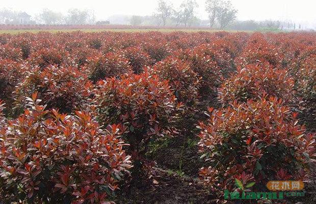 山东胶州赠送果树苗木14.3万株为村庄补绿