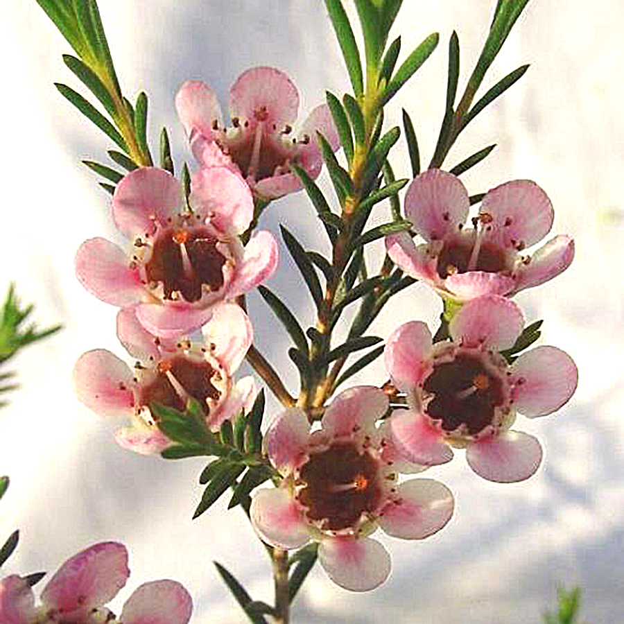 澳洲腊梅苗