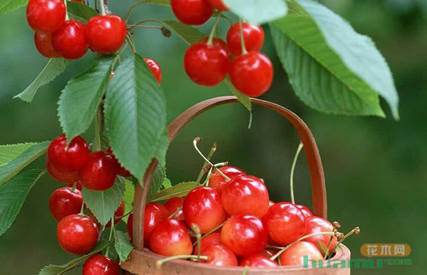 樱桃树的养殖技巧和栽种时间图片