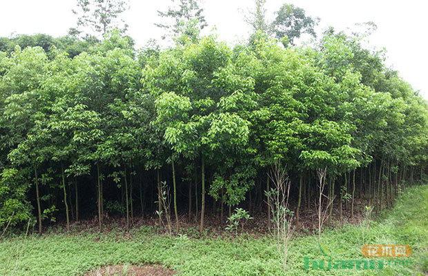 香樟的繁殖培育方法