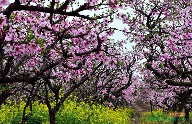 黑板報水粉畫桃樹