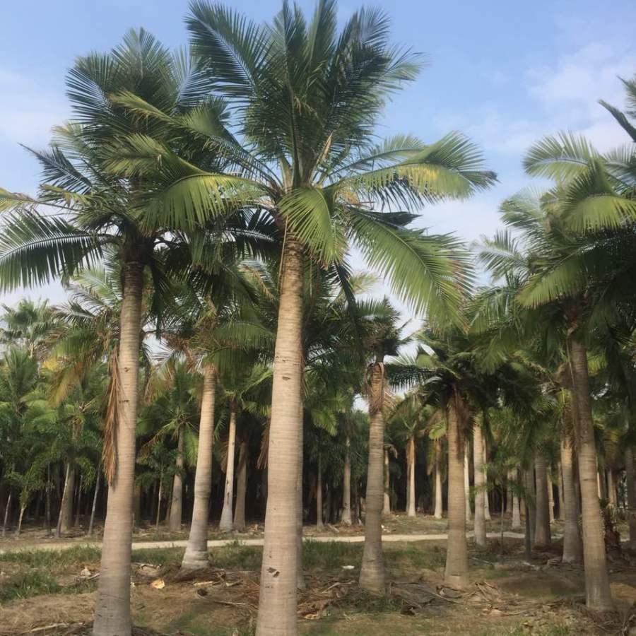 大王椰子树_大王椰子_大王椰子的椰子