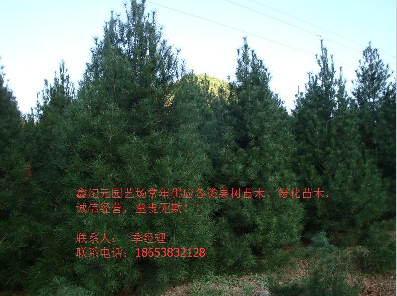 壁纸 成片种植 风景 树 松 松树 植物 种植基地 桌面 802_598
