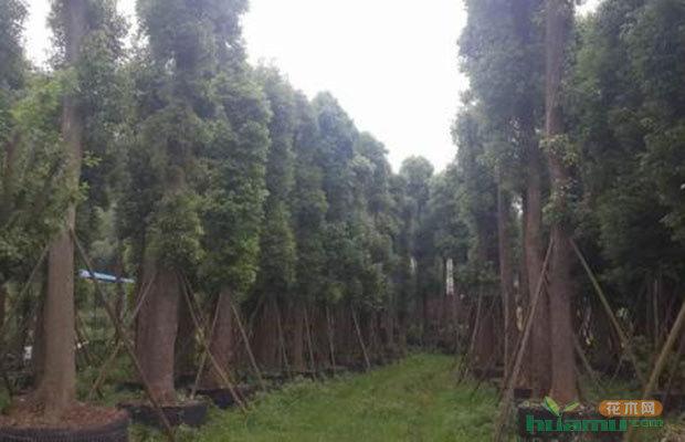 容器育苗的特点: 1)育苗周期短。一般苗床育苗至少要8—12个月才能出圃造林。容器育苗只有需3—4个月便可出圃造林。 2)苗木产量高。 3)苗木适应性强,造林成活率高。因为容器苗有容器保护,根系完整在各种条件下均可造林。 4)能延长造林时间,不受造林季节限制。除了冬季和部分前期生长型的针叶树等,在高生长的最盛期外,其余任何时间,均可应用容器苗造林。有利于造林劳力的安排和提高造林绿化国土的速度。 (5)苗木无需截根、起苗、假植、包装等作业,苗木的出圃率高,同时机械化作业程度也高。