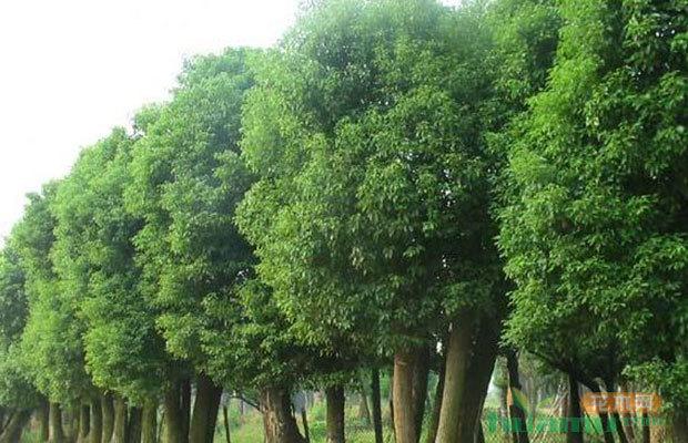 行情轉好!大規格香樟樹市場價格呈上漲趨勢