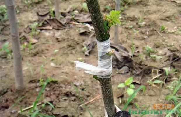 学会嫁接,你的苗木可能卖的一株不剩!