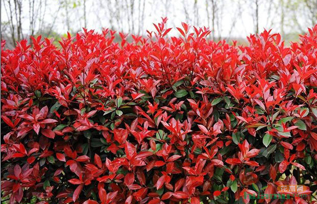 红叶石楠养护:怎样让红叶石楠红得更久? - 中国花木网