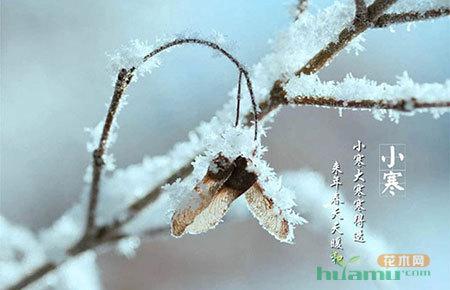 今日小寒|苗木时节 松树傲骨凌寒