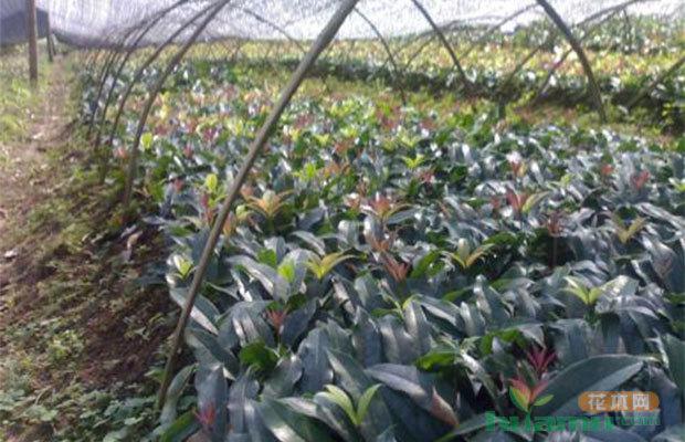 彩叶桂花大规格苗的高接换种快速培植方法