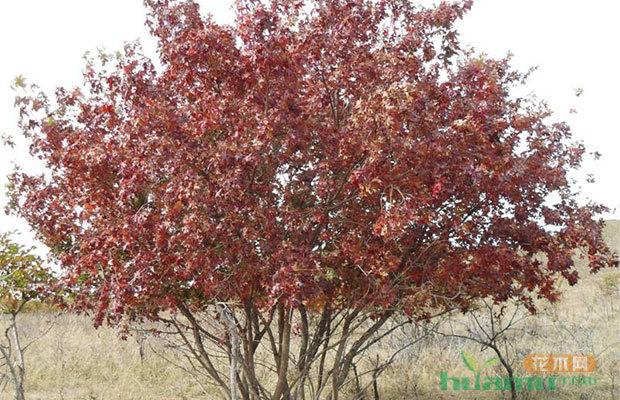 未来2个月最热销的果树和绿化苗木