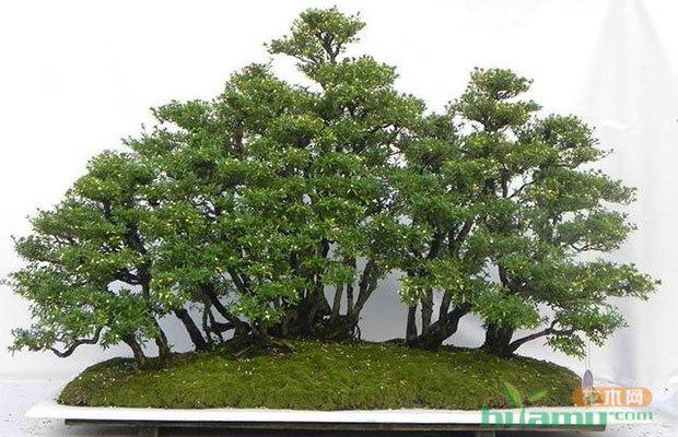盆景植物的嫁接育苗方法