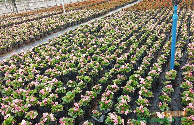 专家把脉南阳花卉苗木产业