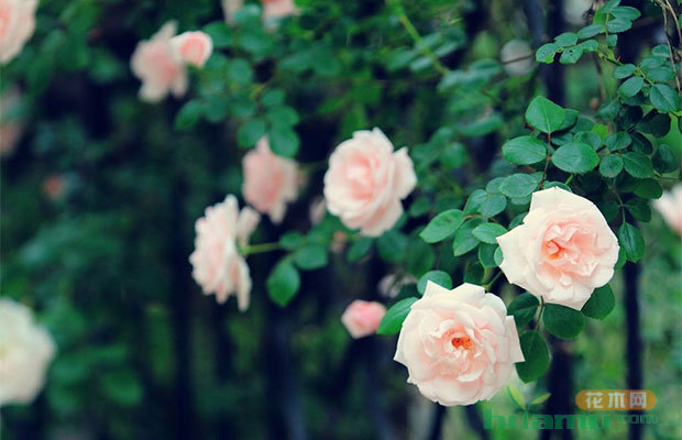 今日惊蛰|苗木时节 蔷薇枝头俏
